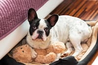 French Bulldog in dog bed with teddy bear next to hotel bed